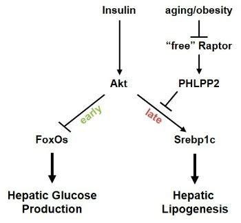 Thesis on chronic liver disease pdf